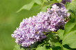 branch of blossoming pink lilac close up
