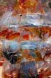 Aquarium fish displayed in plastic bags for sale