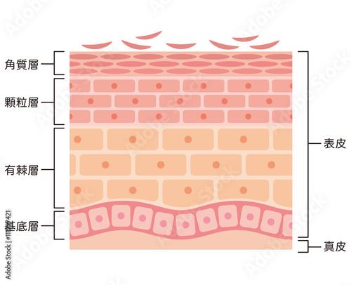 肌の断面図 Adobe Stock でこのストックイラストを購入して類似の