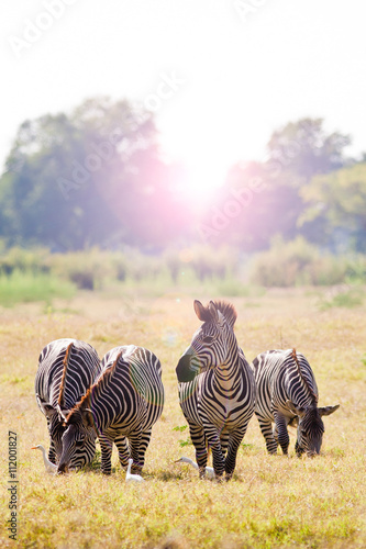 fototapeta na lodówkę Herd of zebra at sunrise