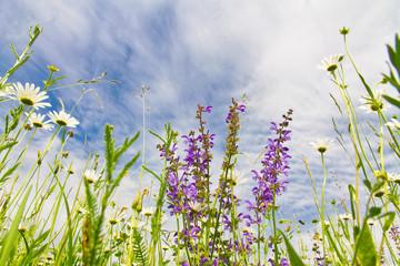 Panel SzklanyNatürliche Wiese mit Blumen - Froschperspektive