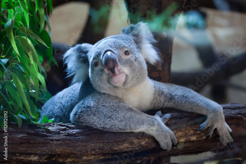Spoed Foto op Canvas Koala Queensland koala (Phascolarctos cinereus adustus).