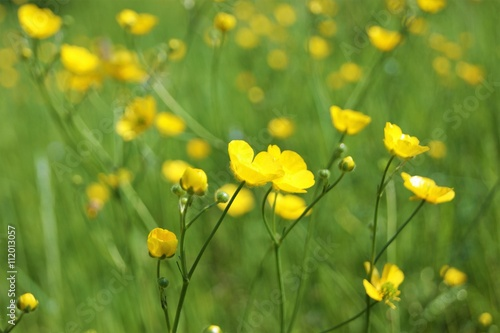 Meadow Buttercup (Ranunculus acris). Canvas Print