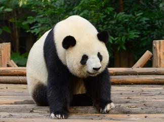 Panel Szklany Panda Giant panda bear