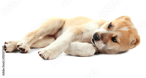 Central Asian Shepherd puppy isolated on white © Africa Studio