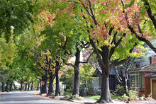 Tall Liquid Ambar, Commonly Called Sweetgum Tree, Or American Sweet Gum Tree, Lining An Older Neighborhood In Northern California