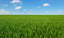 Growing Wheat On A Field.