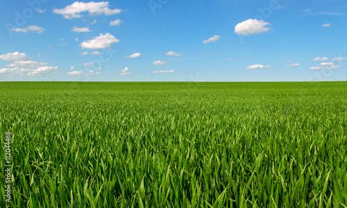 Fotobehang Cultuur Growing wheat on a field.
