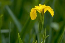 Wild Yellow Iris On The Green ...