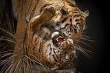 Fototapeta Animals - Tigres peleandose/ Tigres atacando y peleando entre ellos