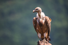 Griffon Vulture In A Detailed Portrait, Standing On A Rock Overs