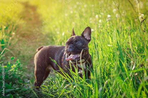Deurstickers Franse bulldog french bulldog in nature