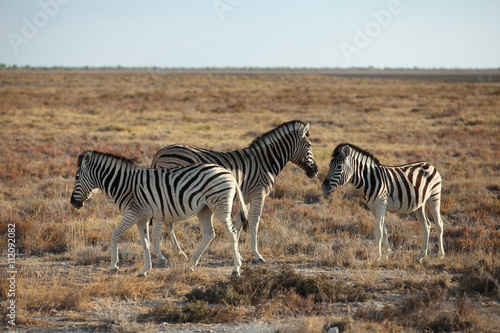 Photo  animals' wildlife in Namibia, Africa