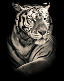 Fototapeta  - tiger black and white portrait