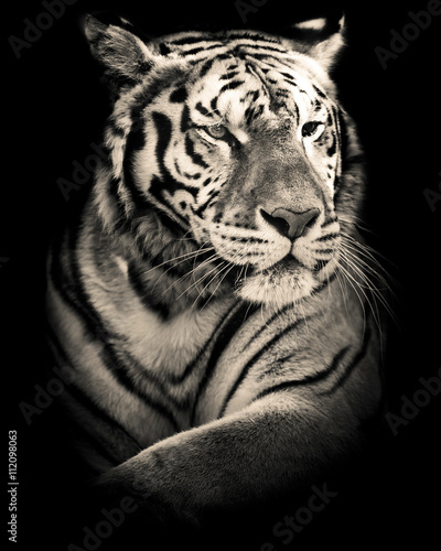 tiger black and white portrait