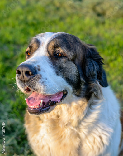 Happy Brown And White Dog Sitting In The Sunshine Buy This