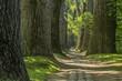 canvas print picture - Geschwungener Märchen Waldweg im Frühling mit großen stämmigen Bäumen und leuchtende grüne Blätter