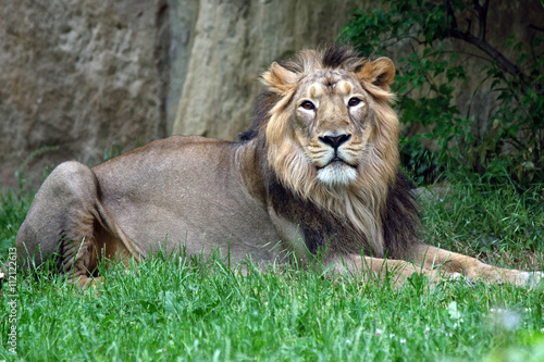 male lion in the grass Canvas Print