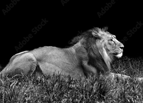 Photo  male lion in the grass