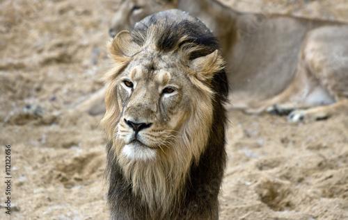 Photo  african male lion portrait