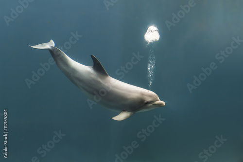 Bottlenose dolphin blowing bubbles Fototapeta