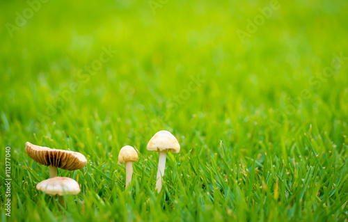 Keuken foto achterwand Paardebloemen en water Side View of Dangerous Small White Cap Mushroom (Amanita phalloides) Among the Prairie and Dew on the Morning after Rainy with Copy Space
