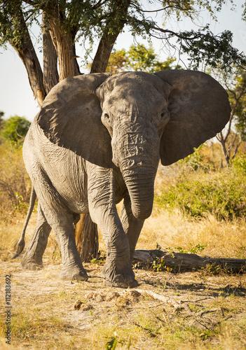 Foto op Aluminium Olifant African Elephant Portrait