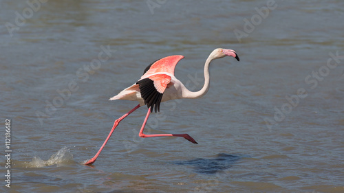 Fotobehang Flamingo Running greater flamingo (Phoenicopterus roseus), Camargue, France