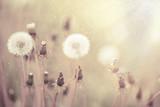 Dandelions at sunset - 112192877