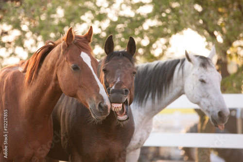 Three horses standing together by a white fence with one yawning. Poster