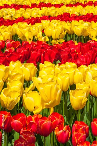 Foto op Canvas Rood Tulips garden