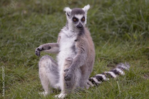 Lemur Billede på lærred