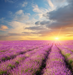 Fototapeta Lawenda Lavender beautiful meadow.