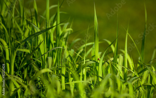 Fotografía Closeup picture of beautiful green sedge on bog in spring or summer with red ladybug on stem