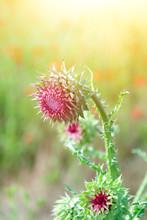 Close Up Of Round Spiky Purple Thistle Bud