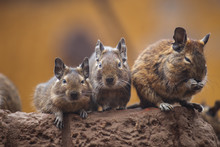 Degu Walk With His Fellow