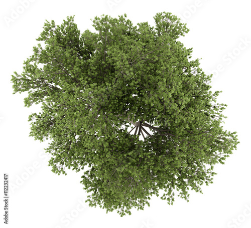top view of austrian oak tree isolated on white background. 3d i