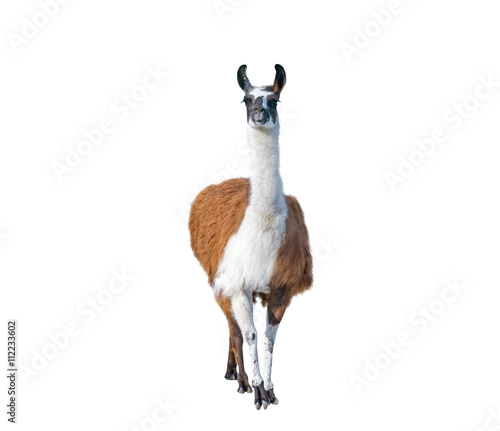 Poster de jardin Lama Beautiful lama portrait