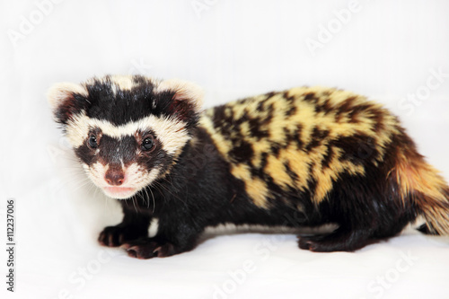 Fotografia, Obraz Marbled polecat (Vormela peregusna) on white fabric background.