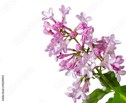 Fotobehang Lilac Lilac branch with water drops on a white background