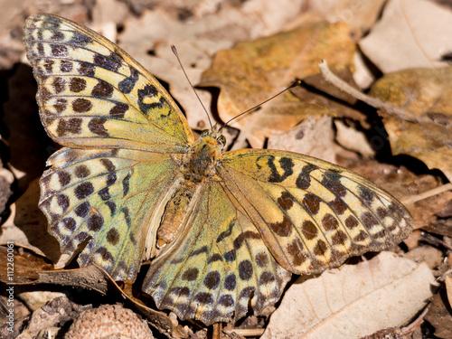Photo  Butterfly Argynnis pandora in autumn season