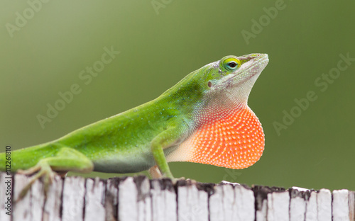 Male Carolina Anole displaying red throat fan. Wallpaper Mural