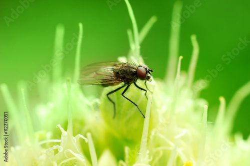 Delia antiqua fly on onion stamens