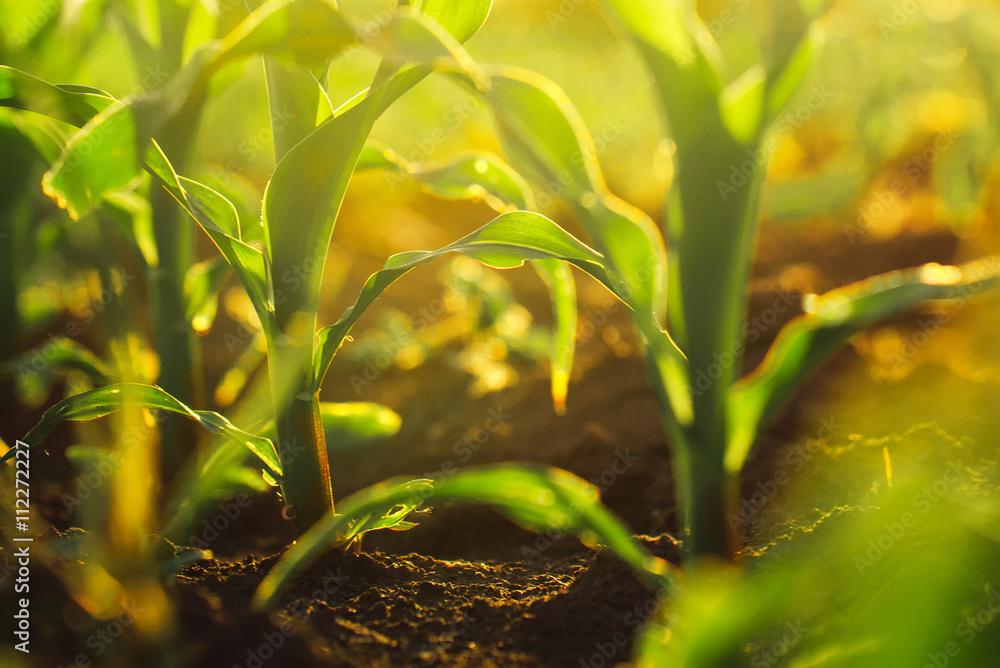 Fototapety, obrazy: Corn crops in sunset