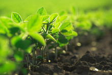 Young Soybean Plants Growing I...