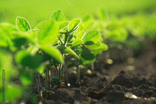 Fotografia Young soybean plants growing in cultivated field