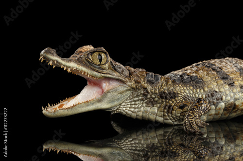 Closeup Young Cayman Crocodile, Reptile with opened mouth Isolated on Black Background, Side view