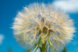 Abstract dandelion flower background.