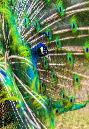 Foto op Aluminium Pauw peacock. peafowl. Beautiful spread of a peacock. beautiful peac
