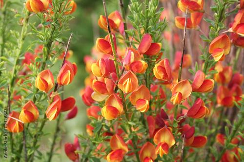 Fiori Arancioni E Gialli.Fiori Giallo E Arancione Di Ginestra Spartium Junceum Buy This